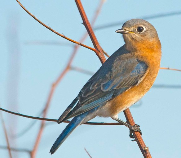Eastern Bluebird 2017-15