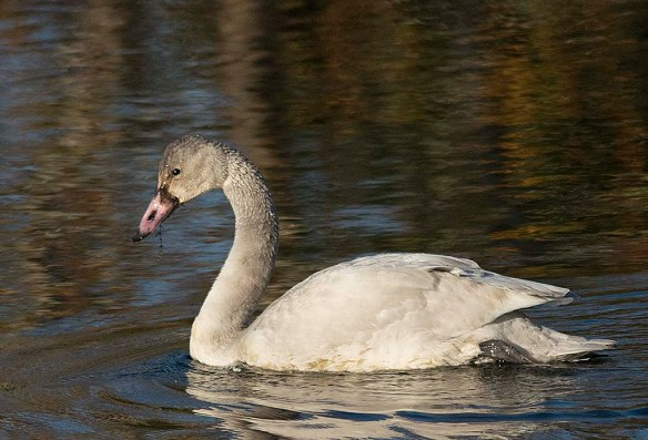 Mute Swan 2017-3