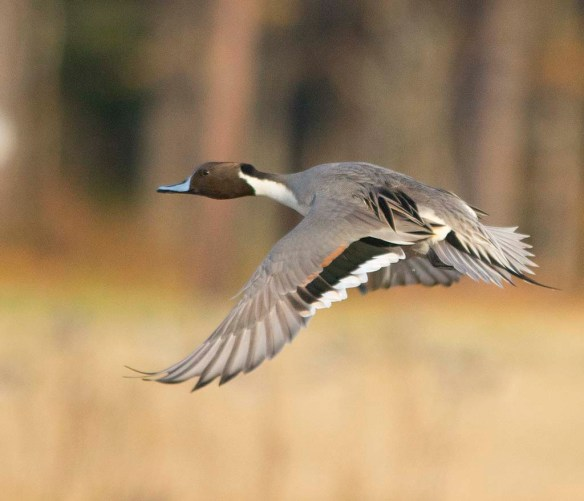 Northern Pintail 2017-59