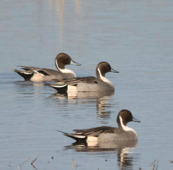 Northern Pintail 2017-61