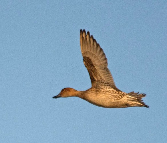 Northern Pintail 2017-62
