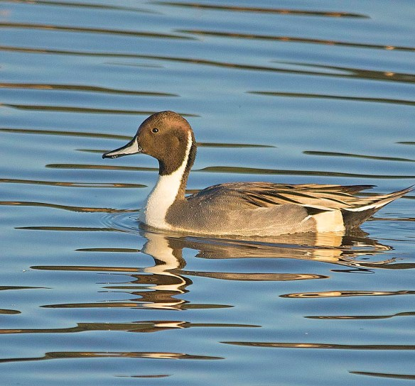 Northern Pintail 2017-63