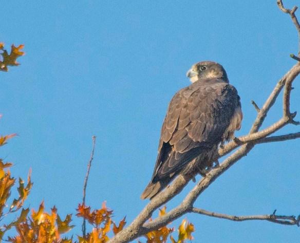 Peregrine Falcon 2017-3