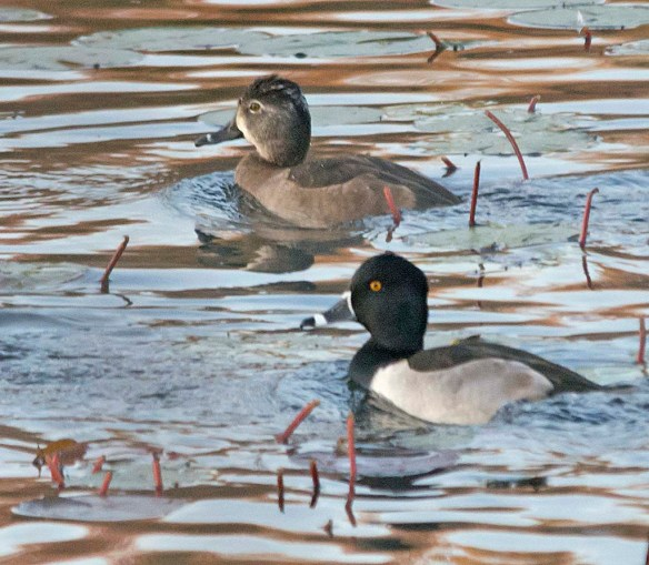 Ring Necked Duck 2017-15