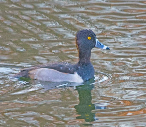 Ring Necked Duck 2017-17