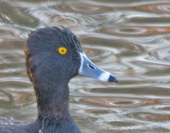 Ring Necked Duck 2017-18