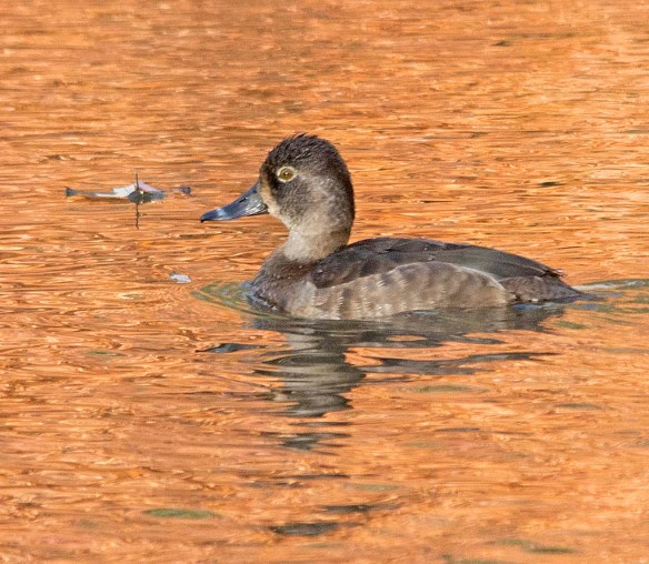 Ring Necked Duck 2017-19