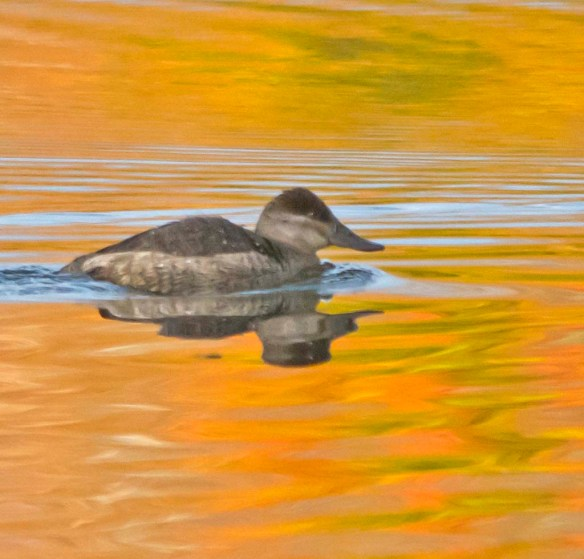 Ruddy Duck 2017-12