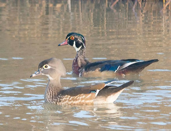 Wood Duck 2017-100