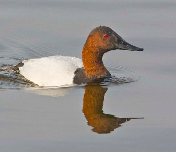 Canvasback 2017-19