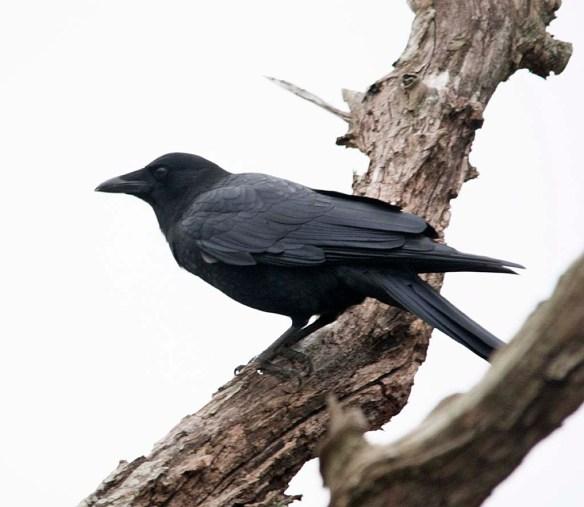 Crow 2017-8