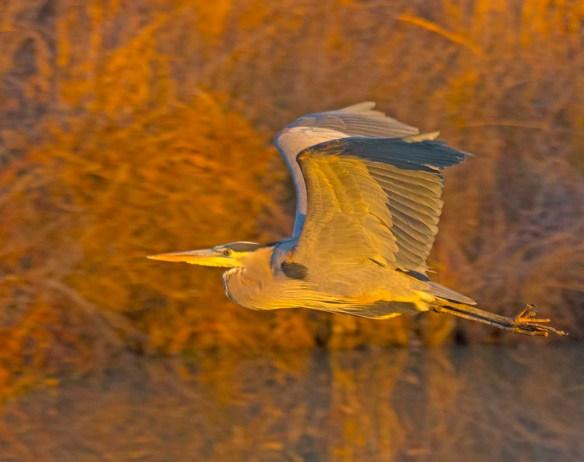 Great Blue Heron 2017-133