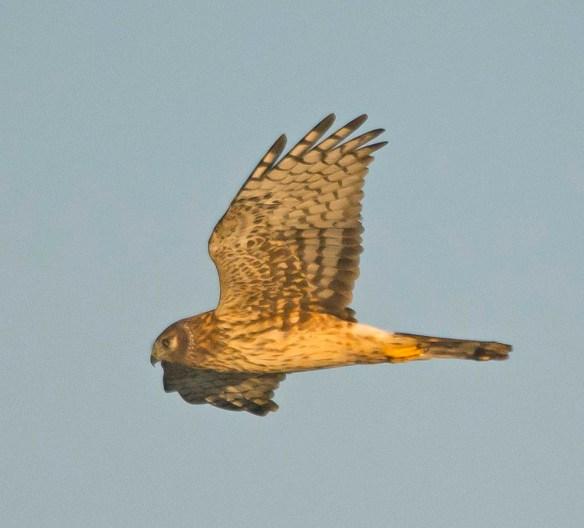 Northern Harrier 2017-21