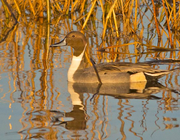 Northern Pintail 2017-66