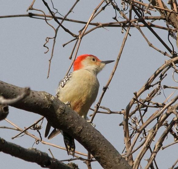 Red Bellied Woodpecker 2017-6