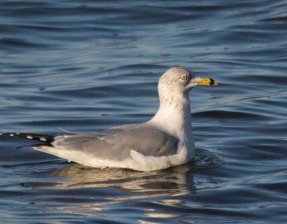 Ring Billed Gull 2017-6