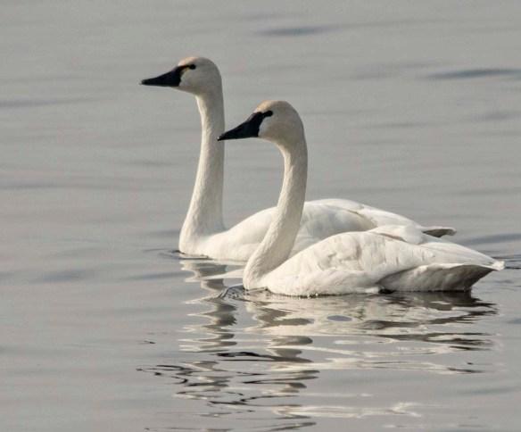 Tundra Swan 2017-72