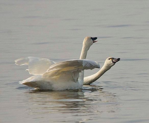 Tundra Swan 2017-73