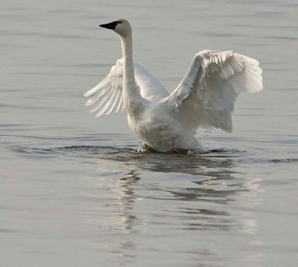 Tundra Swan 2017-75