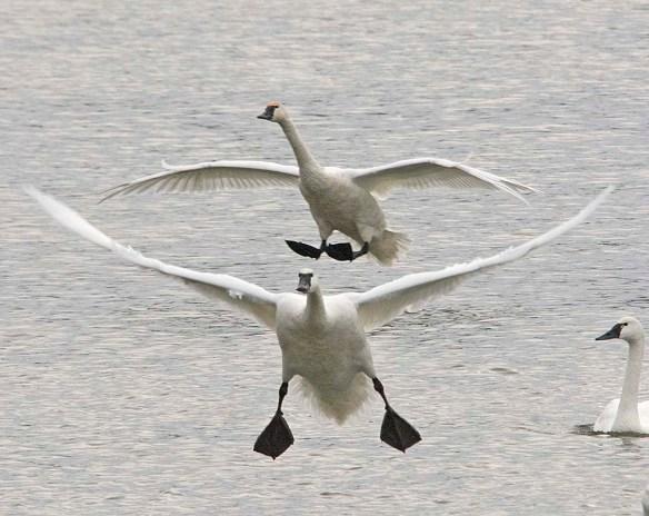 Tundra Swan 2017-77