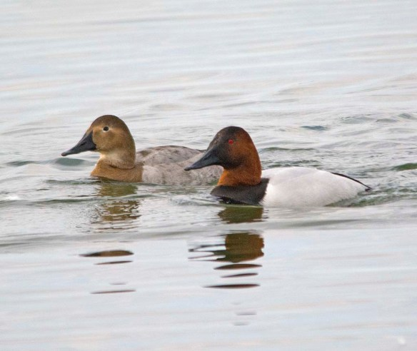 Canvasback 2018-11