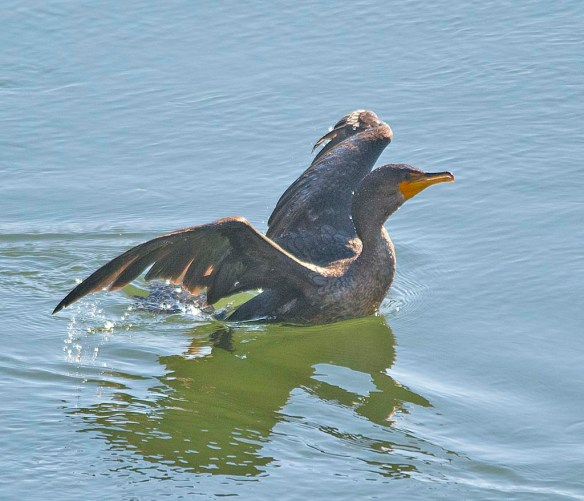 Double Crested Cormorant 2018-3
