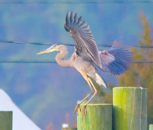 Great Blue Heron 2018-3
