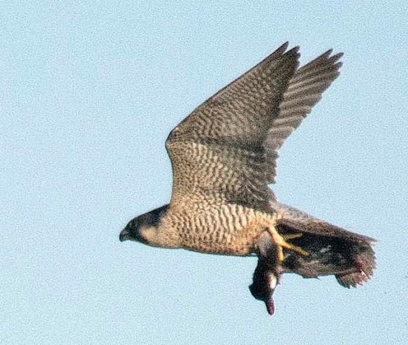 Peregrine Falcon 2018-1
