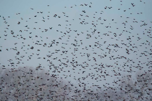 Red Winged Blackbird 2018-1