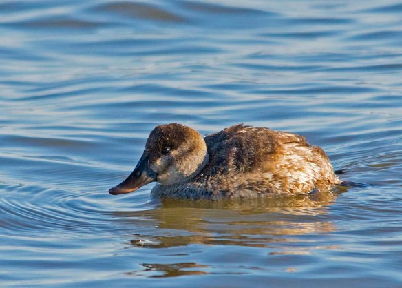 Ruddy Duck 2017-16