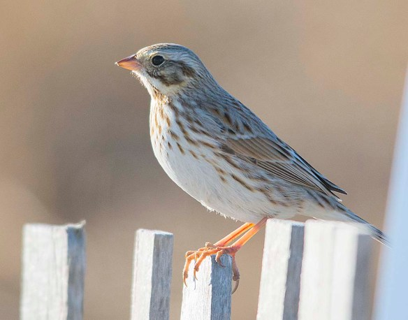 Savannah Sparrow 2018-1