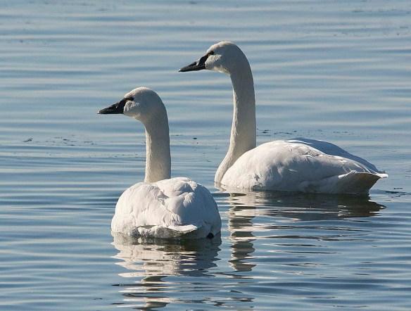 Tundra Swan 2018-14