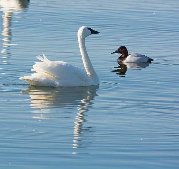 Tundra Swan 2018-15