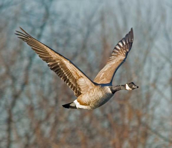Canada Goose 2018-2