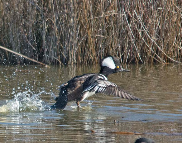 Hooded Merganser 2018-24