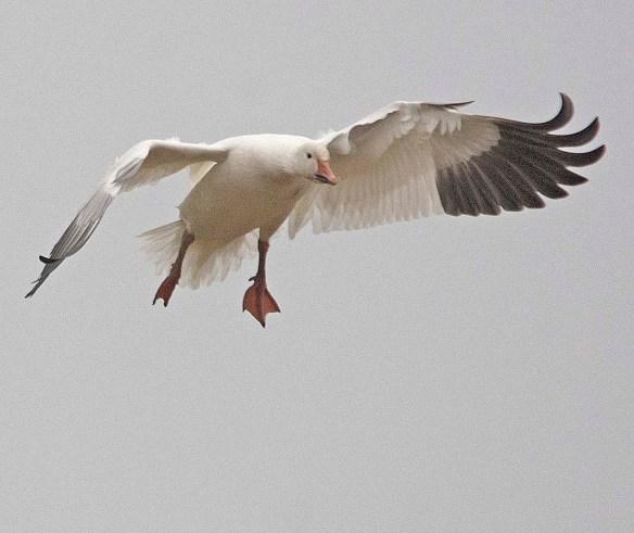 Snow Goose 2018-19