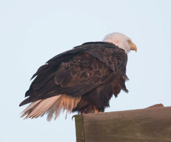 Bald Eagle 2018-25