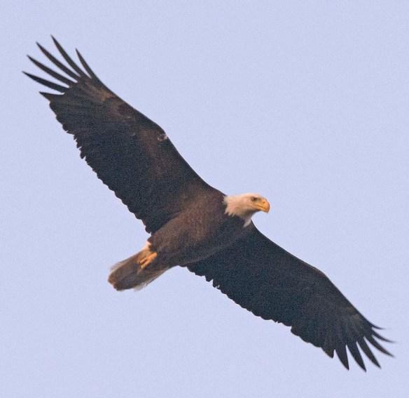 Bald Eagle 2018-26