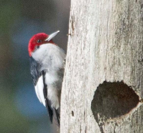 Red Headed Woodpecker 2018-1