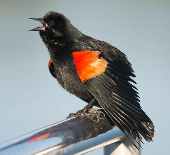 Red Winged Blackbird 2018-7