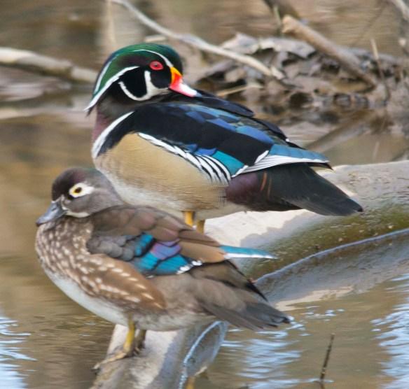 Wood Duck 2018-2