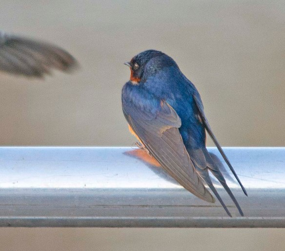 Barn Swallow 2018-1
