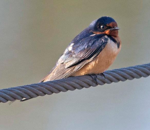 Barn Swallow 2018-4