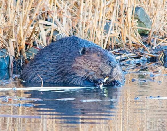 Beaver 134