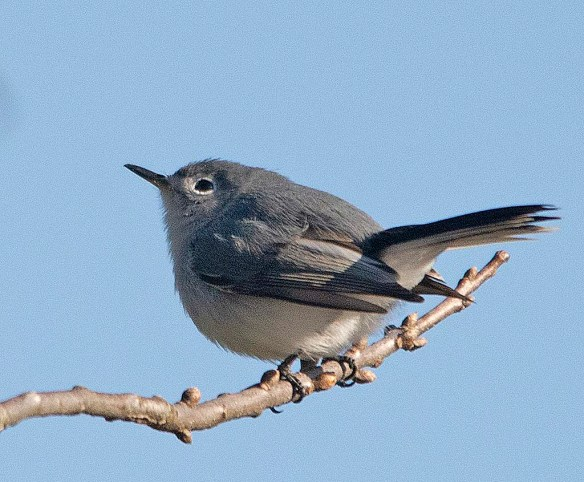 Blue Gray Gnatcatcher 2018-1