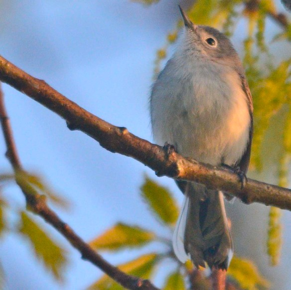 Blue Gray Gnatcatcher 2018-3