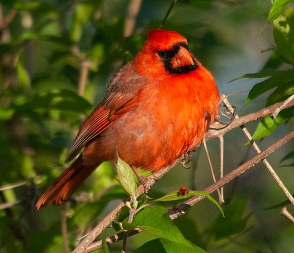 Cardinal 2018-5
