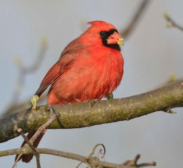 Cardinal 2018-7