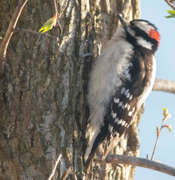 Downy Woodpecker 2018-4