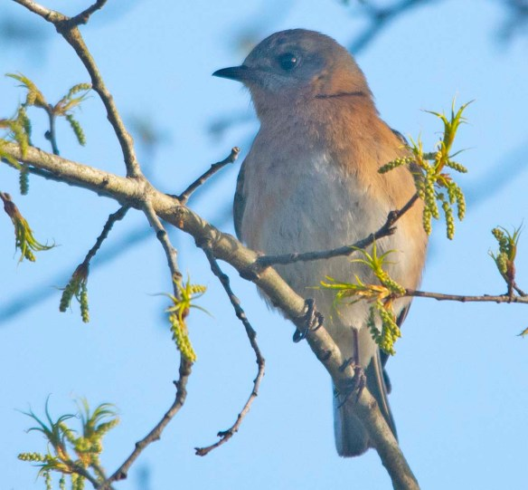 Eastern Bluebird 2018-6